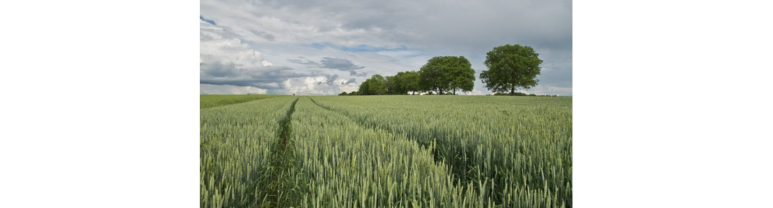 1000x1000-1472566052-wheat-175960-640